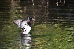 Duck Stretching Its Wings Anillo-Necked en el agua Foto de archivo