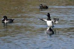 Duck Stretching Its Wings While Anillo-Necked que descansa sobre el agua Fotos de archivo
