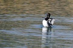 Duck Stretching Its Wings While Anillo-Necked que descansa sobre el agua Imagen de archivo libre de regalías