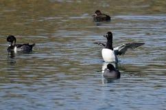 Duck Stretching Its Wings While Anillo-Necked que descansa sobre el agua Imagenes de archivo