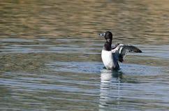 Duck Stretching Its Wings While Anillo-Necked que descansa sobre el agua Foto de archivo libre de regalías
