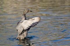 Duck Stretching Its Wings nero americano sull'acqua Immagini Stock Libere da Diritti