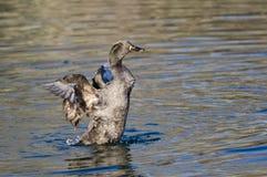 Duck Stretching Its Wings noir américain sur l'eau Images stock