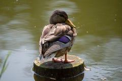 Duck on a stump stock photos