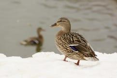 Duck sulla riva del lago congelato Fotografia Stock
