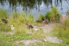 Duck summer day at the pond. Ducks walk near a pond on a warm summer day royalty free stock image