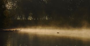 Duck in sun on water in morning mist stock photos