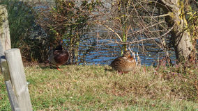 Duck sunbath beside lake. Duck in Natural Park Salburua Basque Country Spain Stock Photo