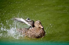 A duck in a pond flaps its wings and splashes. royalty free stock photo