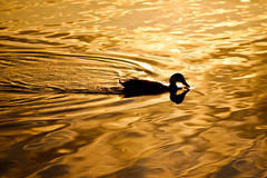 Duck and Sunrise Stock Photo