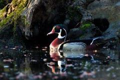 Duck Sunrise de madera Fotografía de archivo libre de regalías