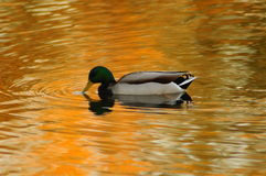 Duck at sunset Stock Images
