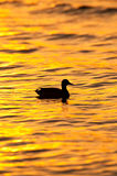 Duck at Sunset Stock Photo