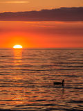 Duck and sunset Stock Photos