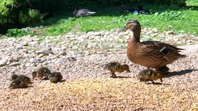 Duck with several newborn babies stock video