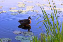Duck on surface of lake Royalty Free Stock Photography