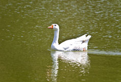 Duck on surface of a lake. In south Europe Stock Photos