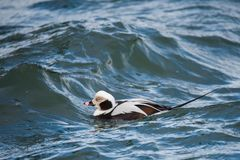 Duck Surfing Choppy Waters de cauda longa foto de stock