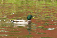 Duck surfing a pond. With colorful reflections Stock Images