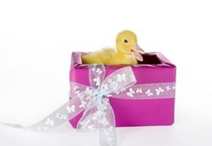 Duck surprise Royalty Free Stock Photography