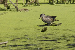 Duck in swamp. A duck is perched in a swamp area Stock Image