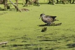 Duck in swamp. Stock Image