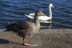 Duck and Swan in Hyde Park Royalty Free Stock Photos