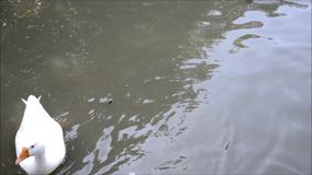 Duck and swan stock footage