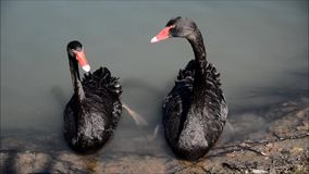 Duck and swan stock video footage