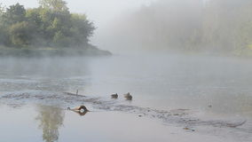 Duck swim misty fogy flowing river water early morning sunlight stock video