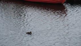 Duck swim in ocean pass boat. Near the village shoot in 1080 stock footage