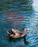 Duck Swim in Pond. Wave reflection of colorful blue on water surface Royalty Free Stock Images