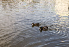 Duck swim side by side in calm water on a spring day Stock Photography