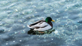 Duck swiming Stock Image