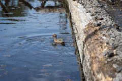 Duck Swiming dans l'eau et la nature de apprécier photo libre de droits