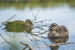 Duck Swiming dans l'eau et la nature de apprécier photographie stock libre de droits