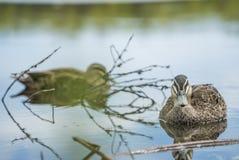 Duck Swiming dans l'eau et la nature de apprécier image stock