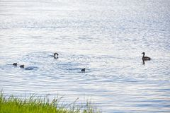 Duck Swiming in het Water en het genieten van van aard stock foto's
