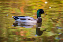 Duck swiming. In a water that reflects the beautiful colours of autumn Royalty Free Stock Photos