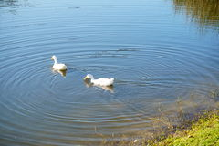 Duck is swiming. White duck is swiming. taken in florida Royalty Free Stock Image