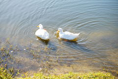Duck is swiming. White duck is swiming. taken in florida Royalty Free Stock Photo