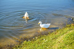 Duck is swiming Stock Photo