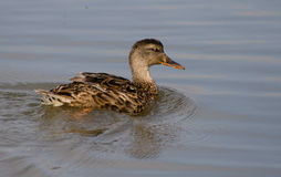 Duck. Swiminng in the pond in early hours Royalty Free Stock Image