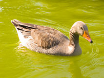 A duck swimming Royalty Free Stock Photography