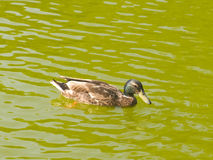A duck swimming Royalty Free Stock Image