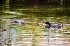 Duck Swimming Immagine Stock Libera da Diritti