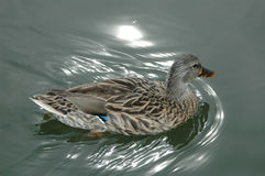 Duck swimming. Female duck swimming with water reflections Royalty Free Stock Images