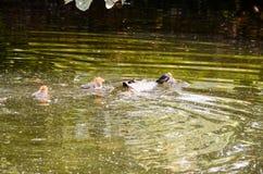 Duck Swimming imagen de archivo