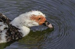 Duck Swimming arkivfoto