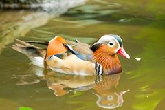 Duck swimming Stock Photo